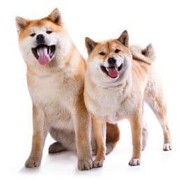 chiens-japonais