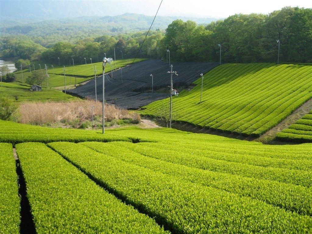 champs de thé au Japon
