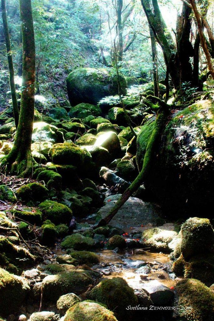 La forêt de Yakushima