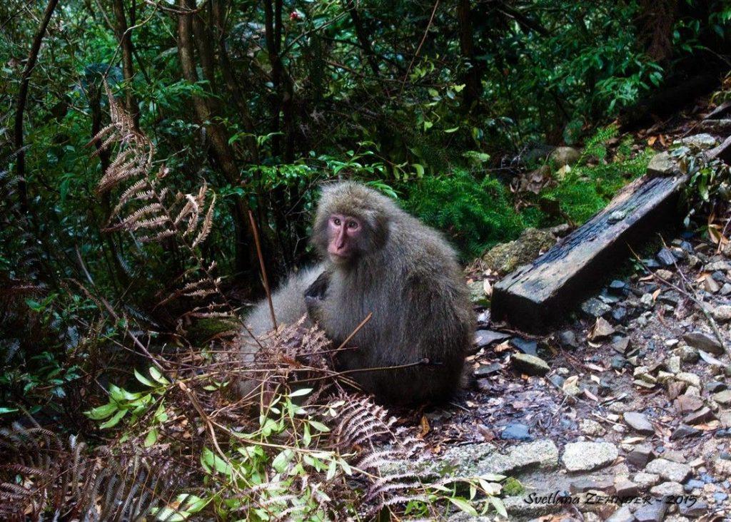 Un singe de Yakushima