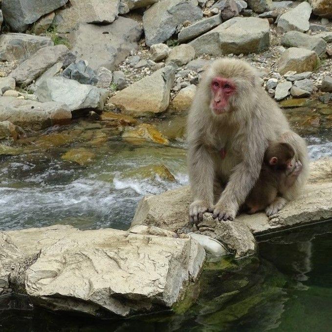 Le parc aux singes de Nagano