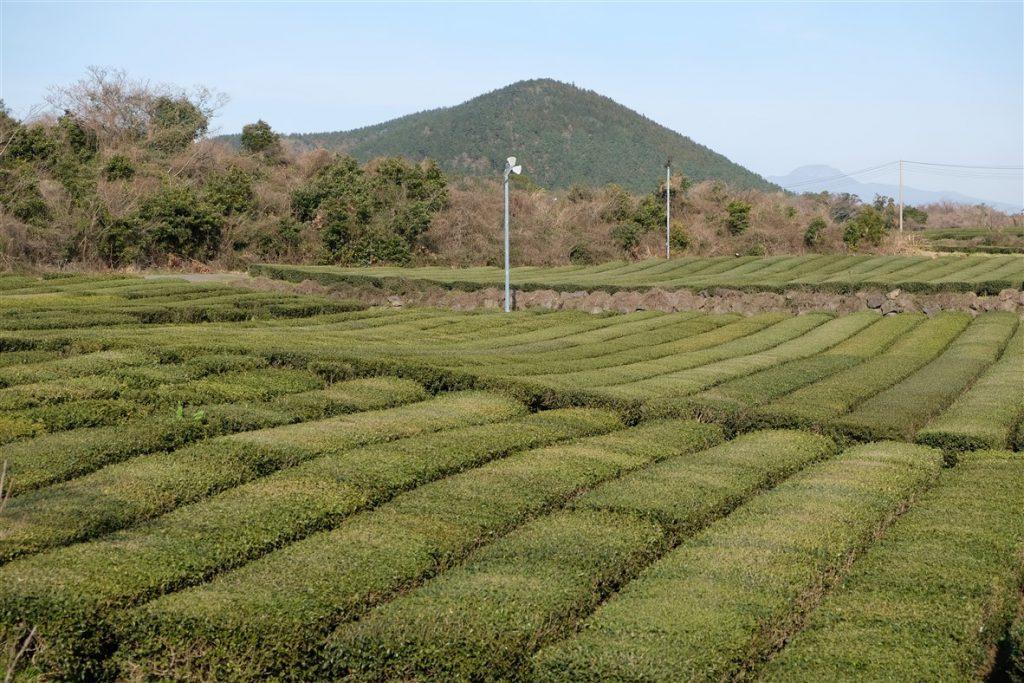 Champs de thé à Jeju